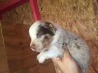 Ariel is a AKC Red Merle female with blue eyes she was