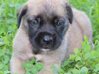 We have an AKC fawn female English Mastiff puppy, born