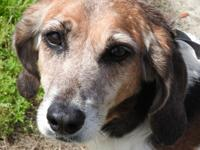 Ariel is a large female Hound, tri-colored.  She is