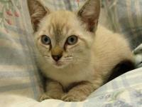 Ariel's story 18-C06-028 Ariel Breed: DSH/ Siamese Mix
