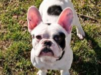 Aries is a dynamic AKC French bulldog male that we are