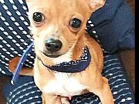 Arlo's story Arlo is 9MO Chihuahua. He is sooo itty