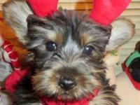 """Armada"" is a sweet Female Yorkshire Terrier Puppy. She"