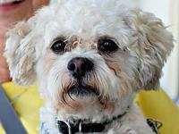 Armand's story Armand is a 10 lb poodle or bichon mix.