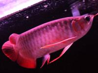 Quality Varieties of asian arowana fishes now available