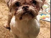 Arthur's story Arthur is a two year old ShihTzu and