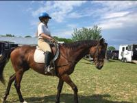 Meet King Arthur, a sweet thoroughbred gelding (16.2hh)