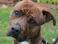 Artie-Low fees, neutered's story Artie Boxer Mix Low