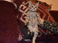 Asap male and female bengal kittens for sale.... SEND