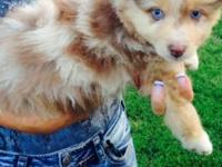 Blue eyed cutie! Red Merle male Aussie. Duel signed up