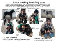Australian Shepherd working stockdog pups. ASCA
