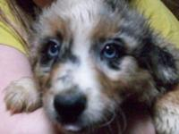 We have Australian shepherd puppies and young people