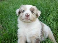 We have Australian shepherd puppies and young adults