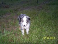 Exceptional Australian Shepherd puppies. They are 16