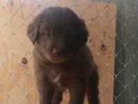 Asca Registered Australian Shepherd puppies 8 weeks