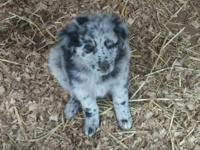 Asca Registered Australian Shepherd puppies smart,