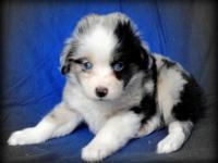 Cute blue Merle children with blue eyes. Males & &
