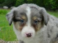 Buster is a pretty blue merle small standard male. His