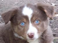 Meet ARTURO. (Bear) ASDR Registrable Blue eyed Tri.