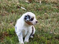 ASDR Mini Aussie Blue Merle female born