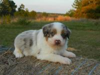 This handsome guy is Disco Man he is a red merle male