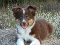 Ellie Mae is a red tri mini female. She was born on the