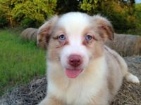 Cannon Ball is a very sweet red merle mini male