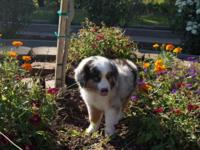 Beautiful Registered Mini Aussie pup. One Blue Merle