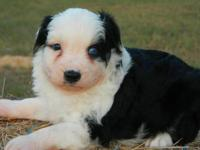 Handsome black tri mini male australian shepherd Dusty.