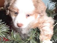 Stunning Red Merle Male, born 10/25/2014, tail and dew
