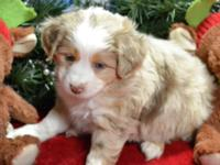 Red Merle Male Miniature Australian Shepherd American