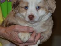 . Stunning Red Merle Male, born 10/25/2014, tail and