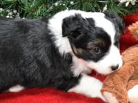 Black Tri Male Miniature Australian Shepherd. Born Nov.