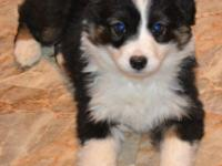 Black Tri Male Miniature Australian Shepherd with Brown