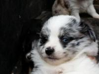 For Sale Mini & Toy Aussies, located in Delta, Co.