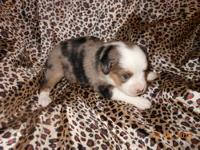 Beautiful Aussie Puppies 3wk. at this time. We have 6