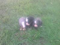 3 mini Australian Shepherd pups ASDR reg. 1 blue eyed