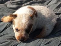 ASDR registered Miniature Australian Cattle Dogs