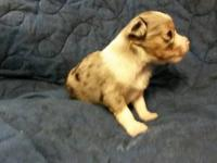 **Christmas Puppies** ASDR Ranch Raised Toy Australian