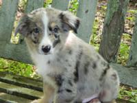 Bud is a awesome little blue merle male small standard