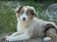 Very pretty red merle standard female. Born on the 24th