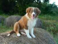 Pretty red tri female australian shepherd with a tail.