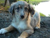 Brutus is a sweet little blue merle male standard that