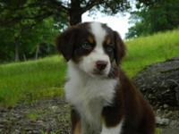 Joanna is a really nice standard red tri female aussie.