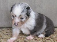 This beautiful teacup australian shepherd was born