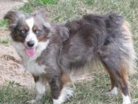 ASDR Toy Aussie Female. Marley is about 13 1/2 inches