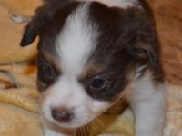 Red Tri Female adorable. Born April 29th. Available