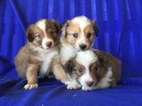 ASDR Toy/Mini Aussies born 9/11/14. 1 Red Tri male & &