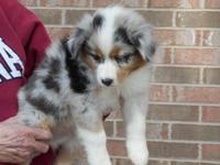 ASDR registered Toy/Mini Australian Shepherd puppies