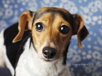 Hi there! Im Ash, a 2 year old Dachshund/Beagle mix and